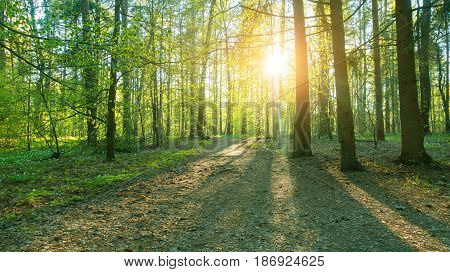 Beautiful woods sunset in forest. Trees and flowers in beautifull forest.