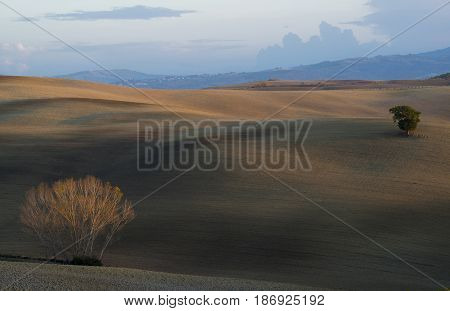 A green fluffy tree and a tree with fallen leaves in the middle of the velvet of freshly plowed Tuscan hills with a forest and a mountain in the background