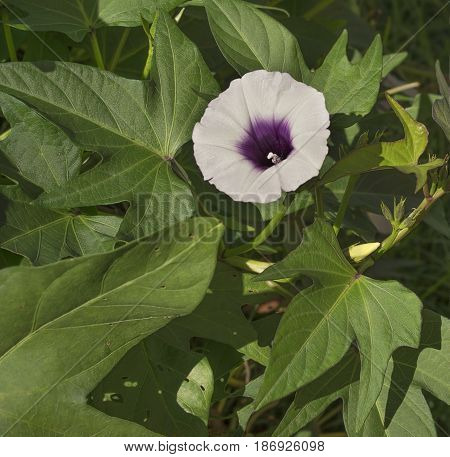 Purple sweet potato or kumera flower growing on vine with green foliage