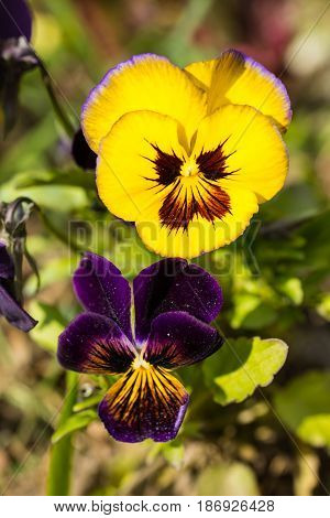 Macro of purple and yellow pansies in garden in sunny day