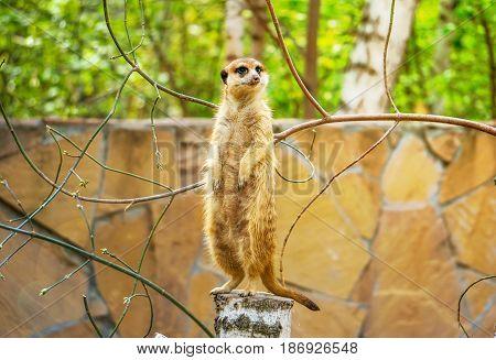 Meerkat Or Suricate In The Zoo