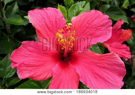 Hibiscus Mallow Malvaceae subtropical and showy flower in bloom close-up stamen