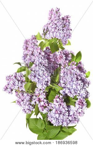 Fresh lilac sprigs with flowers on a white background. Twigs of beautifully blooming lilac in the spring.
