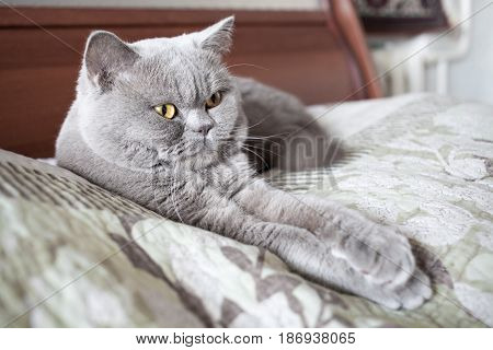 The important cat lies, draw out paws. British shorthair