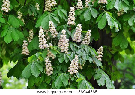 Chestnut flowers on tree branches - Aesculus hippocastanum