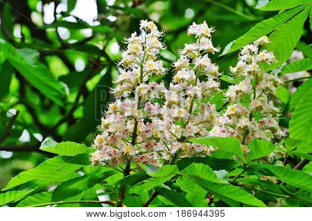 Flowering horse-chestnut tree branches - Aesculus hippocastanum
