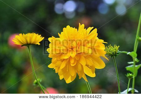 Yellow flower double Kerria japonica Pleniflora Deciduous shrub double golden-yellow flowers in April or May