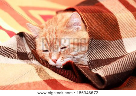 Closeup portrait of nice ginger domestic cat under plaid