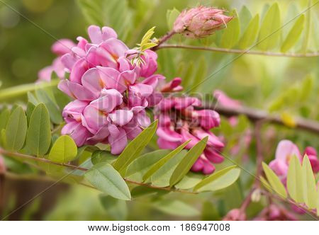closeup flowers of blossoming pink acacia (known as Robinia Viscosa). Horizontal composition.