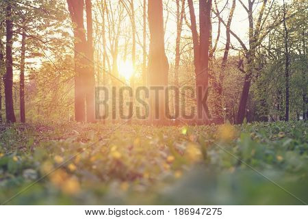 A bright sunset in a green park in summer with warm sunlight. Landscape of the park in summer at sunset with bright sun glare.