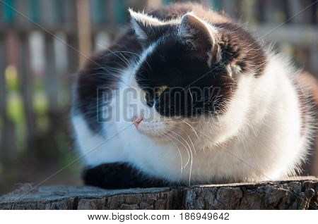 Mongrel black and white cat sitting on tree stump looking away outdoors in summer