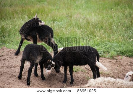 Young black lambs fighting in the pasture.