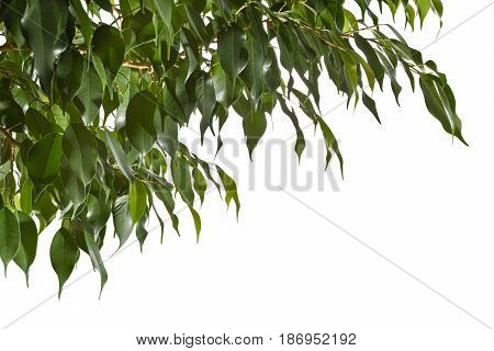 Twigs of fikus with fresh leaves on white background. Background with green leaves of a ficus.