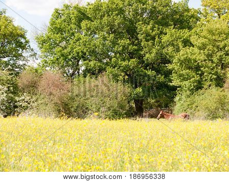 A Brown Horse Resting In A Summer Field Of Buttercups Outside Uk Essex Country
