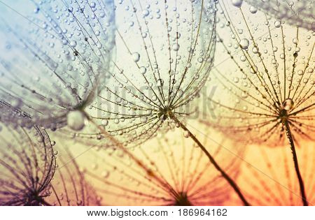 Abstract dandelion flower background. Seed macro closeup. Soft focus . Spring nature