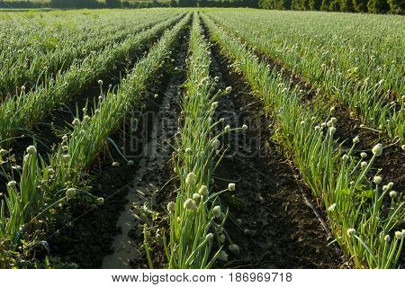 Onions growing in field