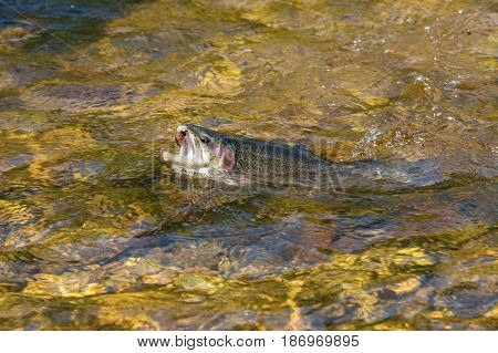Rainbow Trout - Close up of a freshly caught fish in the river Otava Czech Republic