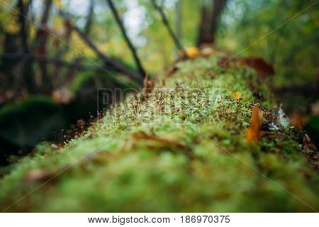 Tree fallen on the ground and covered with green moss and mushrooms blured background forest