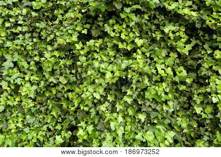 Close-up of a green hedge for a background