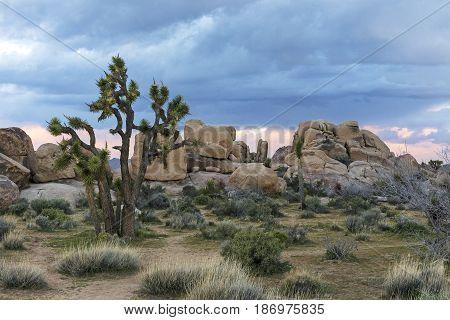 Joshua Trees And Rock Formations - Joshua Tree National Park, California