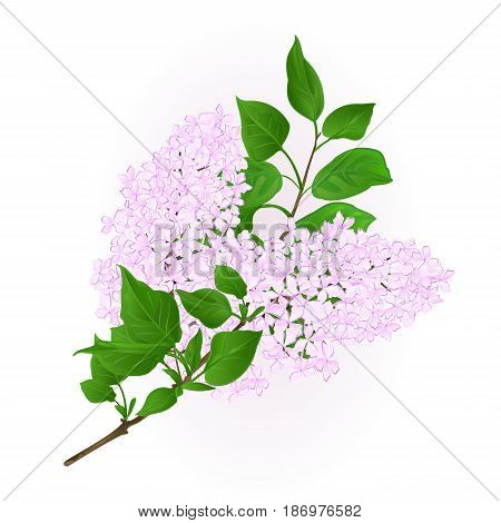 Lilac white twig with flowers and leaves vintage hand draw natural background vector illustration