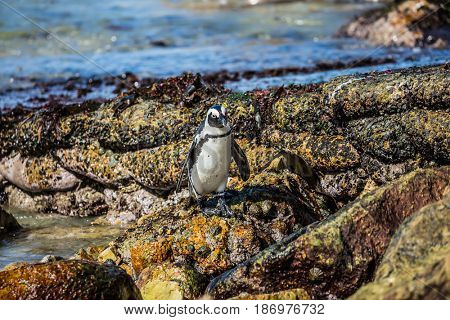 African black-white penguin. Boulders Penguin Colony in the Table Mountain National Park, South Africa. Huge boulders on Atlantic Ocean. The concept of ecotourism