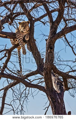 African spotted leopard after feeding. Travel to Namibia. The concept of exotic and extreme tourism. Happy and well fed leopard resting on a tree