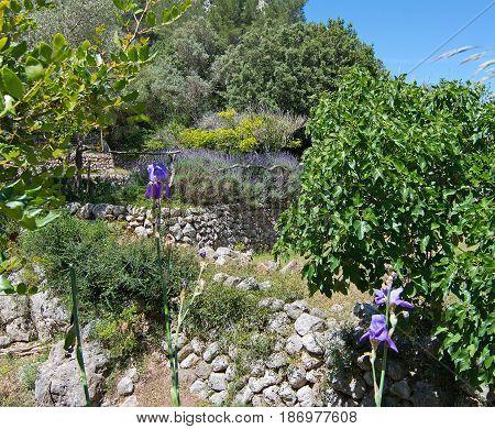 Lavender And Blue Iris  View Mallorca