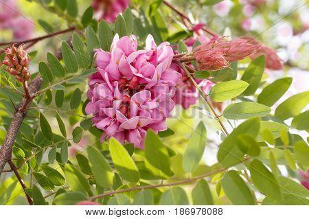closeup blossoming pink acacia (known as Robinia Viscosa). Horizontal composition.