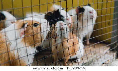 Guinea Pigs In A Cage Close-up. Life Of Guinea Pigs In Natural Conditions And The Zoo. Guinea Pigs A