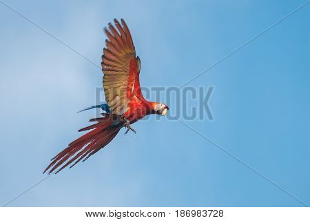 Scarlet macaw (Ara macao) parrot flies with blue sky on the background
