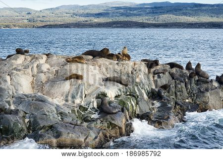 Colony of Sea Lions resting on a small island on the Beagle Channel, Tierra Del Fuego, Argentina