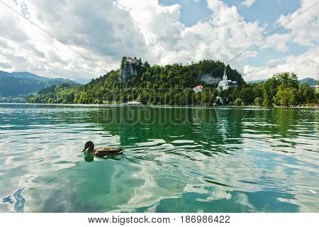 Mallard duck on a lake Bled with castle on a hill in background, slovenian Alps, Slovenia