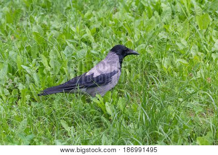 Crow stands on the grass of the city lawn. Bird
