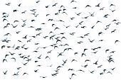 Flock of birds over white (isolated form the background) poster