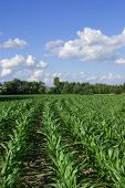 photo of corn field with blue and whit sky background poster