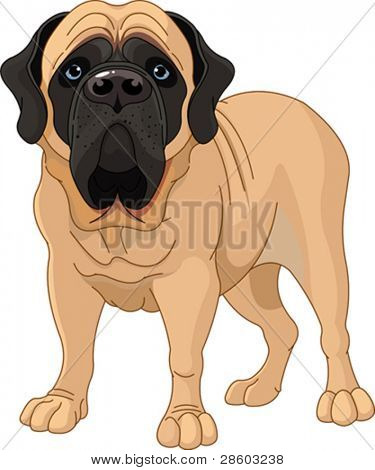 English Mastiff, standing in front of white background
