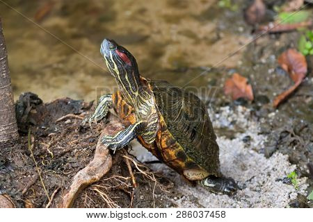 Red-eared slider, red-eared terrapin turtle with red stripe near ears stand on tree root in Singapore (Trachemys scripta elegans)