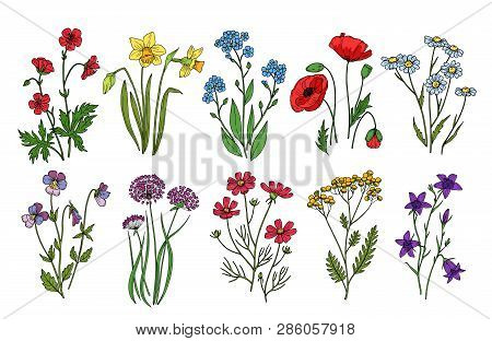 Wild Flowers. Meadow Plants Monkshood Thistle Poppy. Wildflower Vector Botanic Collection Isolated O