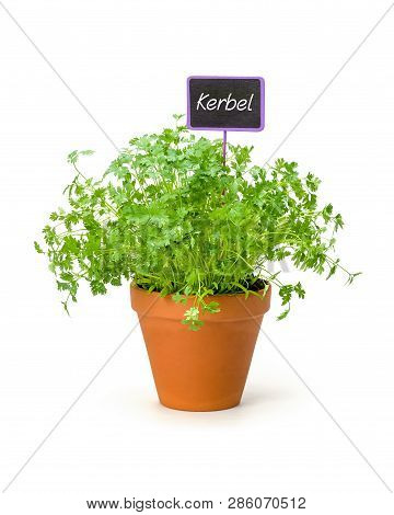 Chervil In A Clay Pot With A German Label Kerbel