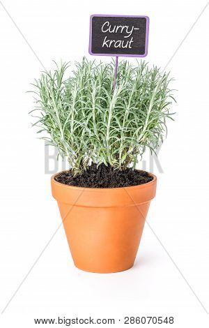 Curry Plant In A Clay Pot With A German Label Currykraut