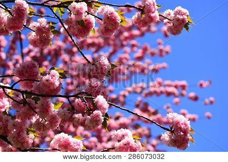 Blossom Tree Over Nature Background. Cherry Blossom. Sacura Cherry-tree. Spring Flowers. For Easter