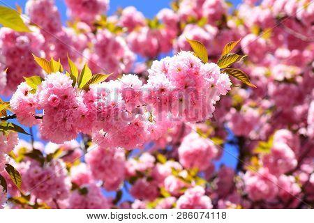 Spring Flowers Background. Cherry Blossom. Sacura Cherry-tree. Blossom Tree Over Nature Background