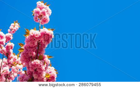Blooming Sakura Blossoms Flowers Close Up With Blue Sky On Nature Background. Cherry Blossom. Sacura