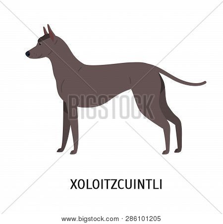 Xoloitzcuintli Or Xolo. Lovely Cute Mexican Hairless Dog Isolated On White Background. Gorgeous Pure