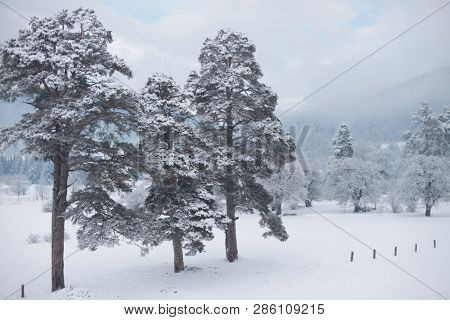 Winter snow landscape with conifers pine tree.