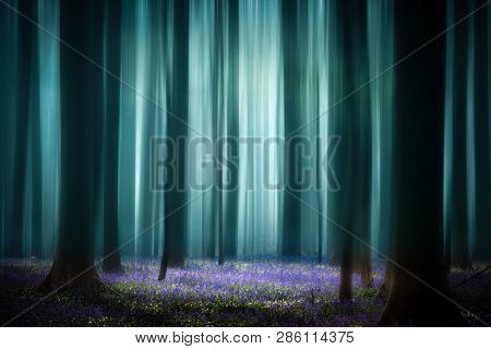 Mystical misty spring pristine beech forest. Tree trunks and sun lit violet blue bluebell flower carpet. Consept for purity, serenity, hope and tranquility.