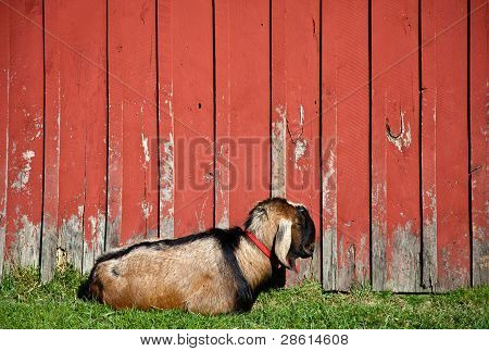 Sleeping Male Goat