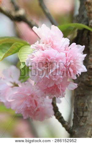 Bright Pink Cherry Blossom Back Ground