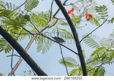 Coppersmith Barbet Is On The Branches In Nature Is A Resident Bird Of South Asia